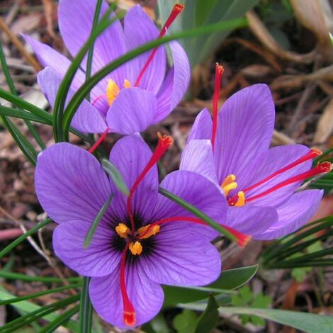OFFERTA 100 BULBI DI CROCUS SATIVUS ZAFFERANO Calibro 8/9 croco coltivazione