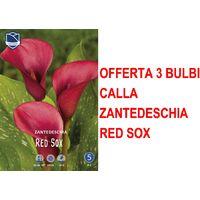 OFFERTA 3 BULBI PRIMAVERILI CALLA ZANTEDESCHIA ROSSA RED SOX BULBO BULBS
