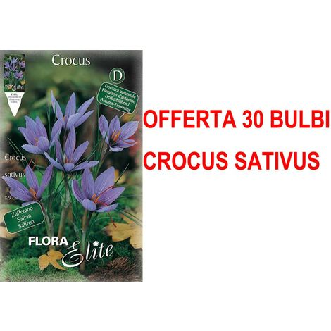 OFFERTA 30 BULBI CROCUS SATIVUS AUTUMN FLOWERING BULBI AUTUNNALI BULBS