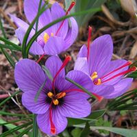 OFFERTA 50 BULBI DI CROCUS SATIVUS ZAFFERANO Calibro 8/9 croco coltivazione