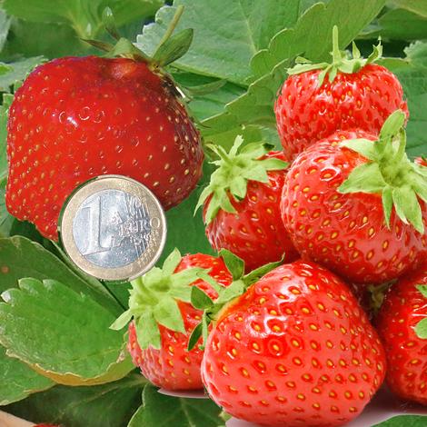 OFFRE SPÉCIALE 40 FRAISIERS - 6 MOIS DE RÉCOLTE - Offre spéciale de 40 fraisiers - Fraisiers non-remontants