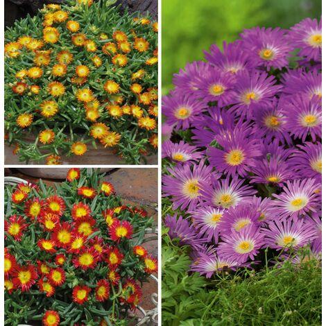 OFFRE SPÉCIALE 6 DELOSPERMA WHEEL OF WONDER - Offre Spéciale lot de 6 godets (2 violet wonder +2 orange + 2 fire) - Plantes vivaces