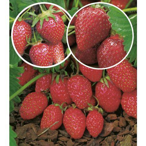 OFFRE SPECIALE DE 60 FRAISIERS - Offre spéciale de 60 fraisiers - Fraisiers non-remontants