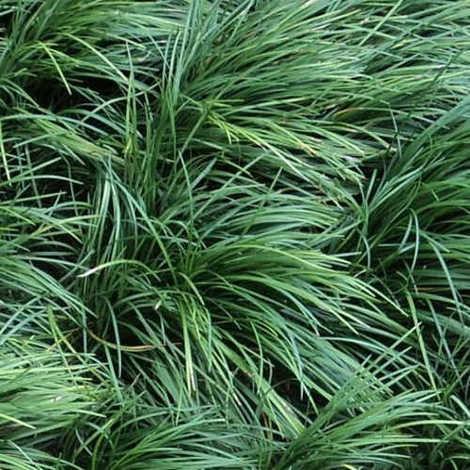 Ophiopogon japonicus - 10Uds. - Maceta de 1Litro
