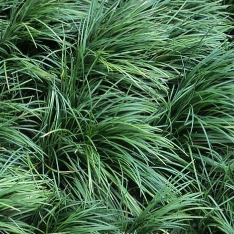 Ophiopogon kyoto - Maceta de 1Litro