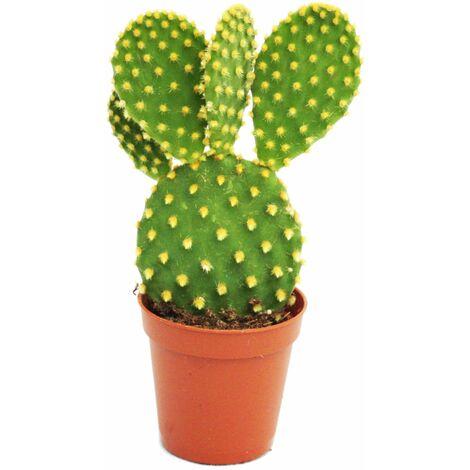 "main image of ""Opuntia microdasys - cactus à oreilles jaunes - en pot de 5,5 cm"""