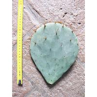 Opuntia tardospina (n.1 pala) 20-30 cm, cactus, pianta grassa winter hard, resistente fino a -20°C