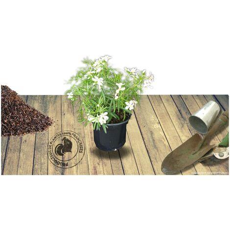 Oranger du Mexique ternata White Dazzler® 'londaz' | Pot de 3L - 40/60 cm