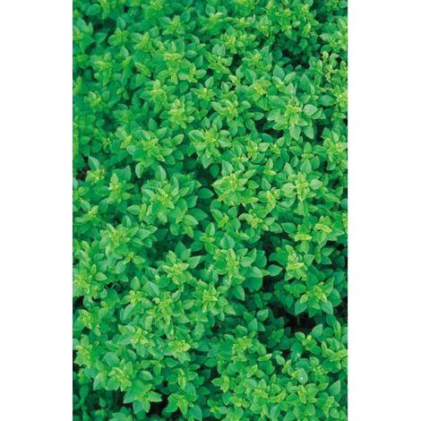 Organic - Herb - Basil Greek