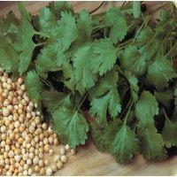Organic Herb - Coriander - Cilantro