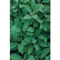 Organic - Herb - Sage