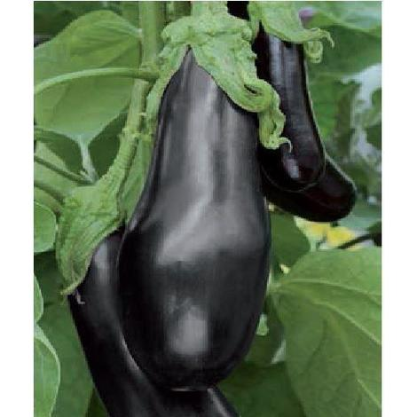 Organic Vegetable - Aubergine - Black Beauty