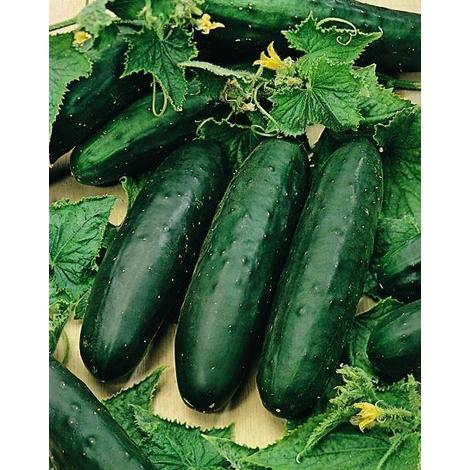 Gherkin Vegetable Adam F1-8 Seeds