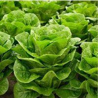 Organic - Vegetable - Lettuce Jabeque