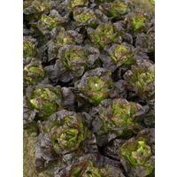 Organic - Vegetable - Lettuce Roxy