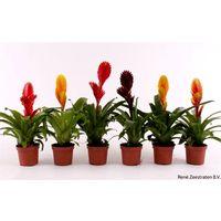 Pack de 18 Plantas Bromelia Vriesea Mezcla 7 Especies