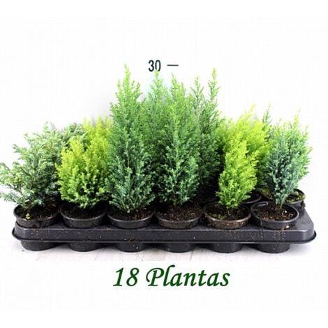 Pack de 18 Plantas Coniferas Mix Variadas en Maceta M9