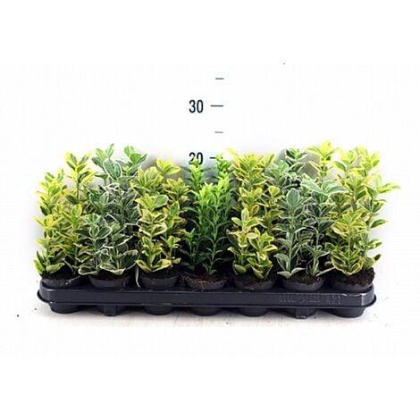 Pack de 18 Plantas de Evonimo Euonymus en Maceta M9
