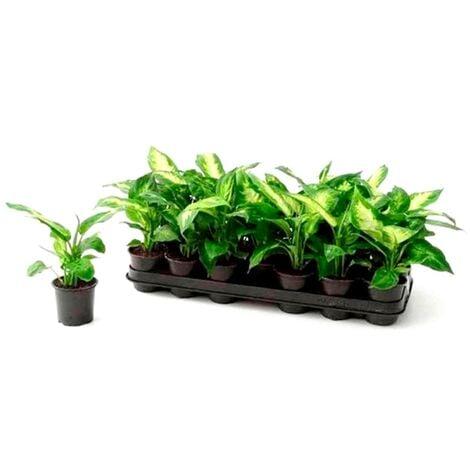 Pack de 3 Plantas Natural Diafenbachia en Maceta M9
