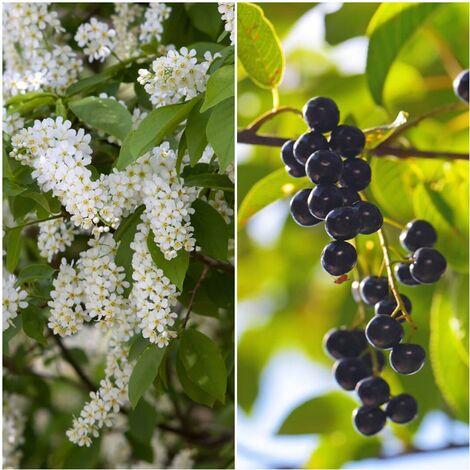 Pack de 4 Plantas de Cerezo de Racimo. Prunus Padus. 30 - 50 Cm