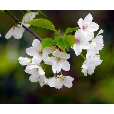 Pack de 4 Plantas de Cerezo de Santa Lucia. Prunus Mahaleb