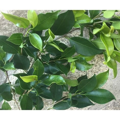 Pack de 4 Plantas de Ficus Nitida. Laurel de Indias