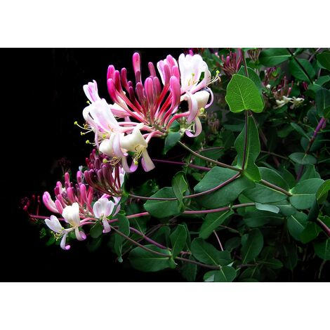 Pack de 4 Plantas de Madreselva de los Bosques Lonicera Periclymenum. 20 - 40 Cm