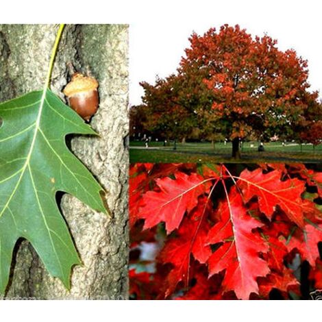 Pack de 4 Plantas de Roble Americano. Quercus Rubra. 30 - 40 Cm