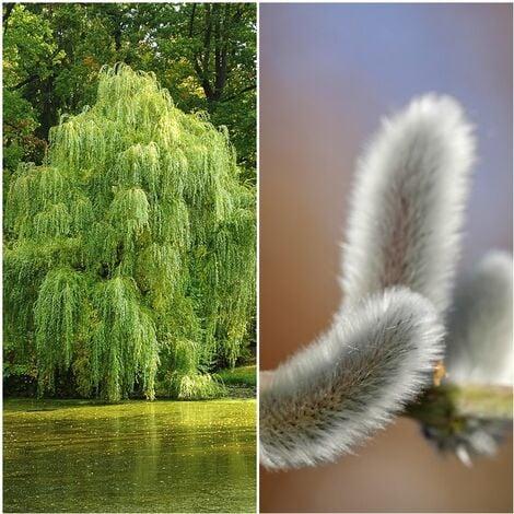 Pack de 4 Plantas de Sauce Blanco. Salix Alba. 40 - 50 Cm