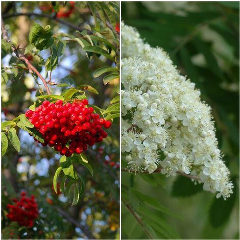 Pack de 4 Plantas de Serbal de los Cazadores. Sorbus Aucuparia