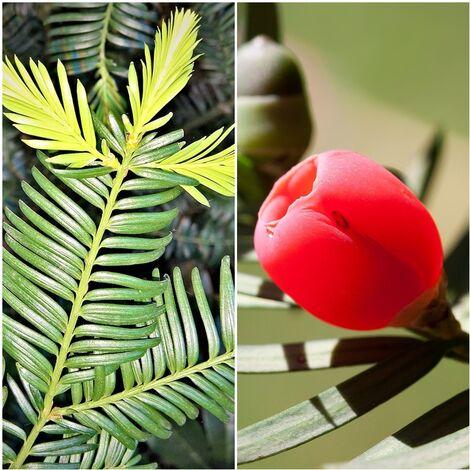 Pack de 4 Plantas de Tejo Taxus Baccara. Ideal para Formar Setos y Bonsai
