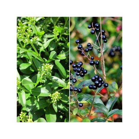 Pack de 4 Plantas para Setos de Aligustre Comun. Ligustrum Vulgare. 20 - 30 Cm