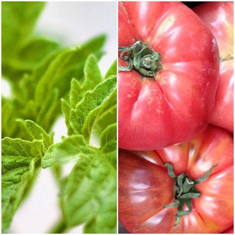 Pack de 6 Plantas de Tomate Rosa Gigante. Plantel Huerto