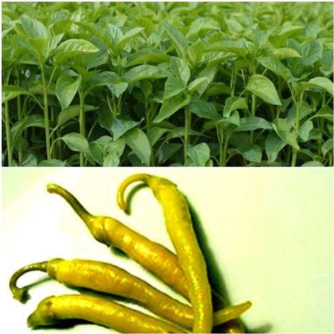 Pack de 9 Plantas de Guindilla Larga Amarilla Vasca. Plantel Huerto