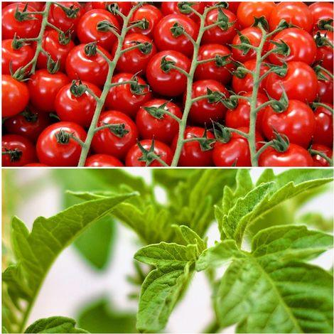 Pack de 9 Plantas de Tomate Cherry. Plantel Huerto