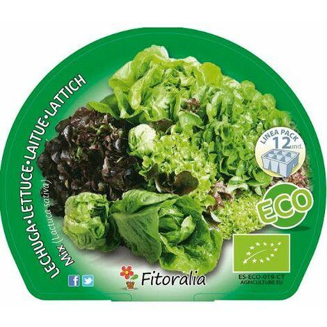 Pack Lechuga Mix I 12 Ud. Lactuca sativa