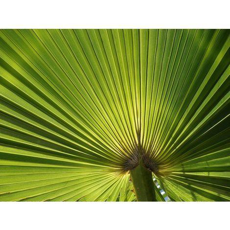 Palmera de Palmito Trachycarpus Fortuney. Planta de 30 - 35 Cm.
