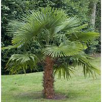 Palmier rustique (Trachycarpus fortunei) - la plante 15/20 cm en godet - Vert - Arbustes d'ornement