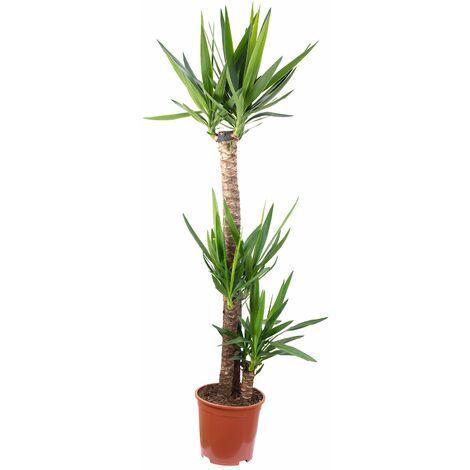 Palmlilie 3-stämmig - Höhe ca. 155 cm, Topf-Ø 27 cm - Yucca Elephantipes Palme 120/60/30