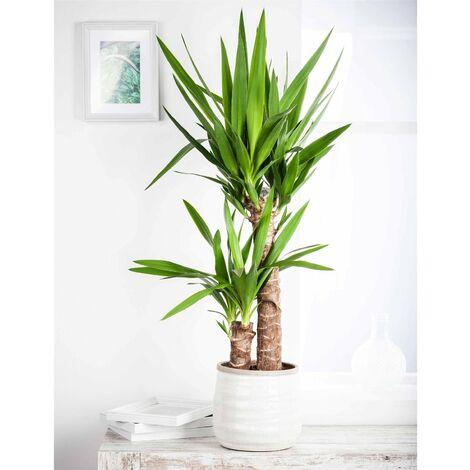 "main image of ""Palmlilie, Yucca elephantipes, Gesamthöhe ca. 60-80 cm"""