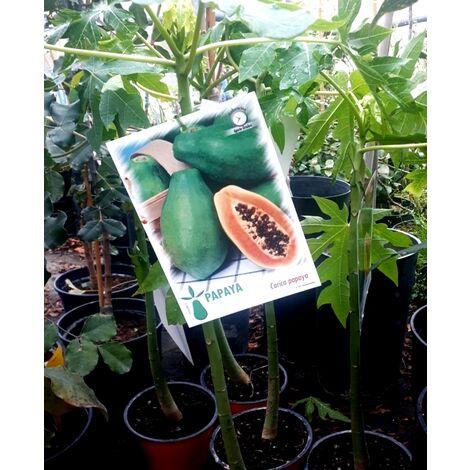 Papaya , Carica Papaya. Altura Aprox. 60 Cm