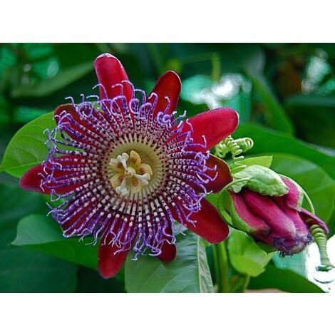 Passiflora quadrangularis pianta rampicante in vaso 9 cm