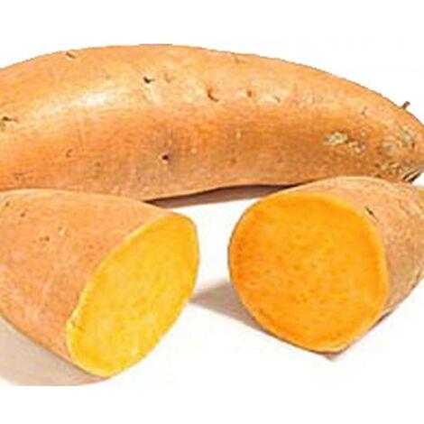 PATATE DOUCE - 1 tubercule - Plants de pomme de terre