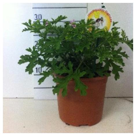 Pelargonium graveolens - Pelargonio - Antimosquitos - Geranio - 2,5Litros - Co