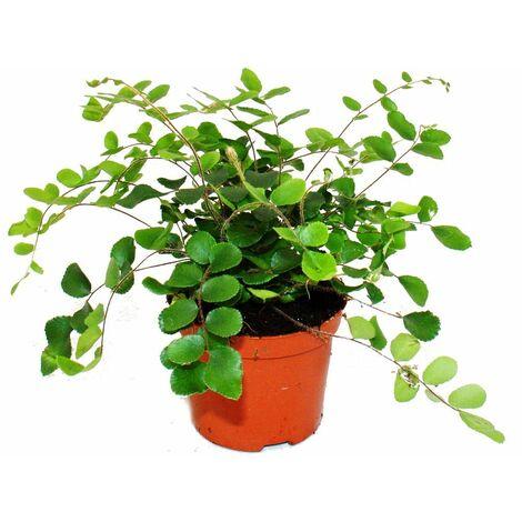 """main image of """"Pellaea rotundifolia - Pelle ou fougère primitive du monde - pot 9cm"""""""