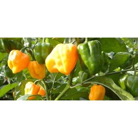 Peperoncino Trottola - Habanero Orange Blob