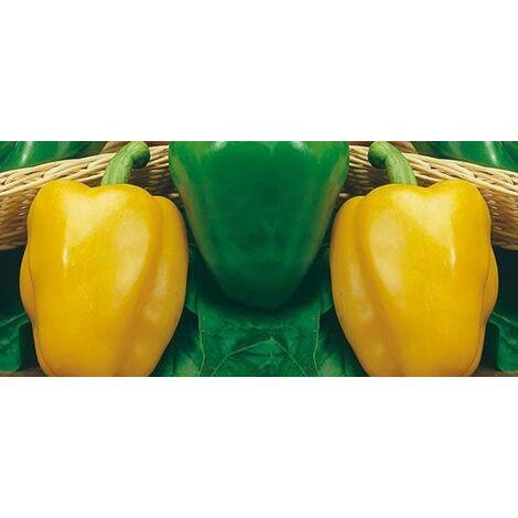 Peperone giallo (vaso 10)