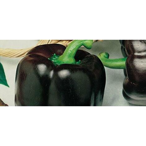 Peperone nero (vaso 10)