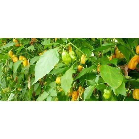 Perino giallo (Long yellow pear shaped)