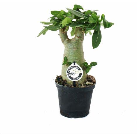 Petite rose du désert, adenium, couleur surprise, pot de 11cm